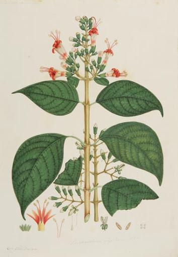 Cinchona lanceifolia. Lámina, Flora de la real Expedición Botánica del Nuevo Reino de Granada.
