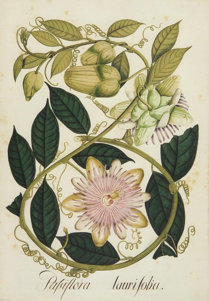 Passiflora laurifolia. Lámina de la Expedición Botánica (1783-1816).